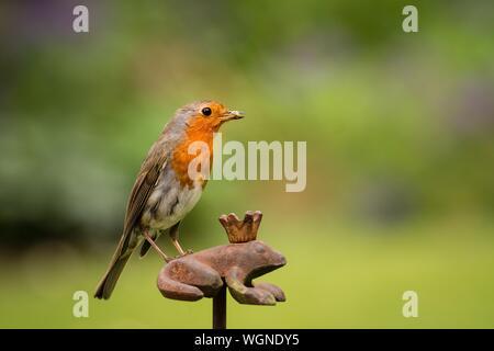 In der Nähe von Robin mit Wurm im Schnabel auf rostigen Metallische Frosch im Park - Stockfoto