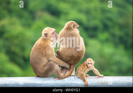 Vater, Mutter und Kind Affe sitzt auf einem Zaun versperrt den Weg Hintergrund grüne Blätter. - Stockfoto