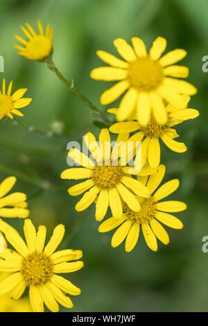 Gelbe Blüte Festplatten von Marsh Ragwort/Senecio aquaticus wachsenden am Flussufer (R. Fowey). Flws größer als Common Ragwort, beide Asteraceae Familie. - Stockfoto