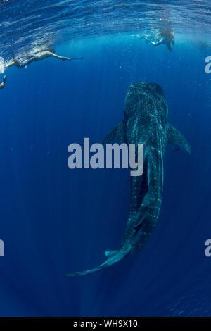 Touristen mit einem Walhai schnorcheln (Firma IPCON typus) in der Honda Bay, Palawan, Philippinen, Südostasien, Asien - Stockfoto