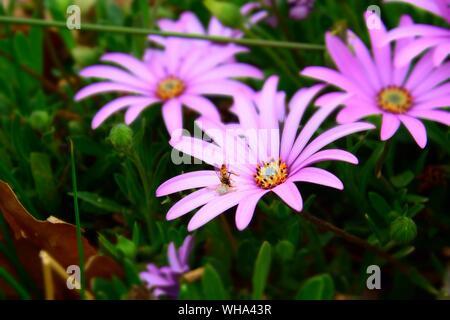 In der Nähe von Insekten auf Lila Blume - Stockfoto