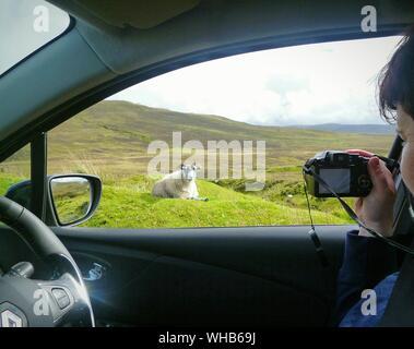 Frau Fotografieren Schafe auf Landschaft während der Fahrt im Auto. - Stockfoto