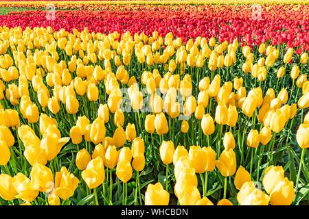Bunte Tulpenfelder im hellen Sonnenschein. - Stockfoto