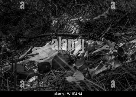 Tier Skelett auf Feld am Wald - Stockfoto