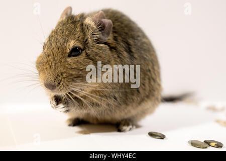 Nahaufnahme der Ratte vor weißem Hintergrund - Stockfoto