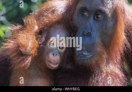 Orang-utan umarmt Jungen close-up - Stockfoto