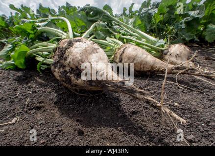 Close-up von Zuckerrüben auf dem Feld - Stockfoto