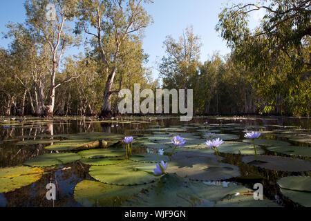 Mangrovenbäume in Wasser mit schönen blauen Lotus Blumen - Stockfoto