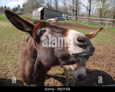 Close-up Der Esel auf dem Feld - Stockfoto