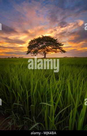Bäume auf der Wiese gegen bewölkten Himmel bei Sonnenuntergang - Stockfoto