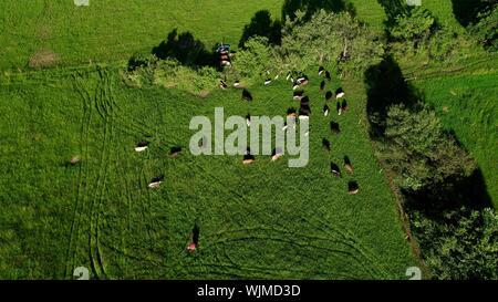 Luftaufnahme von Grünem, grasigen Weide Feld mit weidenden Kühen, Wiederkäuend im Zentrum von Wisconsin, USA - Stockfoto