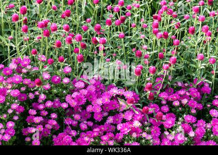 Purple Flower Bed, Kombination Farben, Chinesische Aster, Callistephus chinensis, Globus Amaranth Gomphrena haageana - Stockfoto