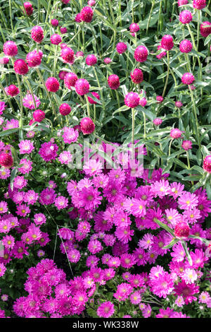 Purple Flower Bed, Kombination Farben, China Aster, Callistephus chinensis, Globus Amaranth Gomphrena haageana - Stockfoto