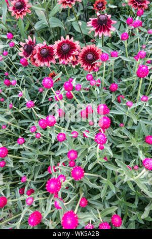Purple Flower Bed, Kombination Farben, Globus Amaranth Gomphrena haageana, Rudbeckia 'Cherry Brandy' - Stockfoto