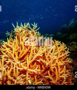 Unterwasser Korallenriff der Malediven-Insel, Unterwasser Hintergrund, schönen bunten Korallengarten, wunderbare Unterwasserwelt, Schönheit der Ozeane - Stockfoto