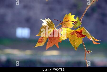 In der Nähe von Ahorn Blätter im Herbst - Stockfoto