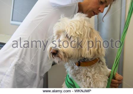 Tierarzt geben grüne Bandage von Verwundeten Hund - Stockfoto