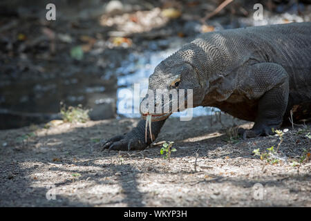 Komodo Dragon - Stockfoto