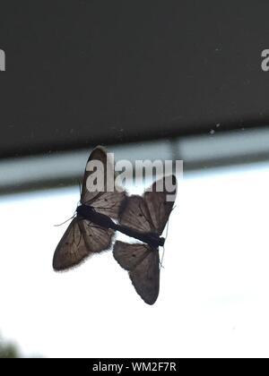 Schmetterlinge paaren auf Glas Fenster - Stockfoto