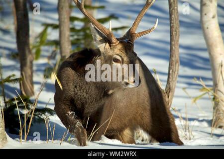 Nahaufnahme der Hirsche im Winter - Stockfoto