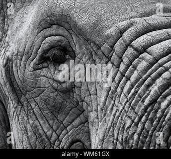 Closeup makro Bild von einem Elefanten Auge mit gealterten Haut und Kofferraum in Schwarz und Weiß mit Copyspace Bereich für Wildnis Natur Elefant entwirft eine - Stockfoto