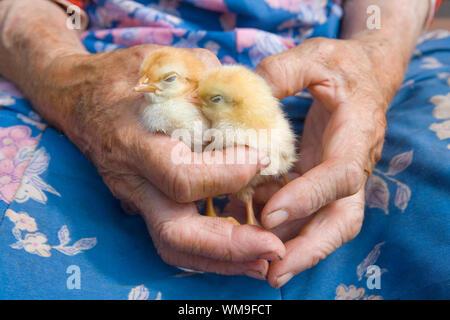 alte Bäuerin Huhn in ihren faltigen Händen hält