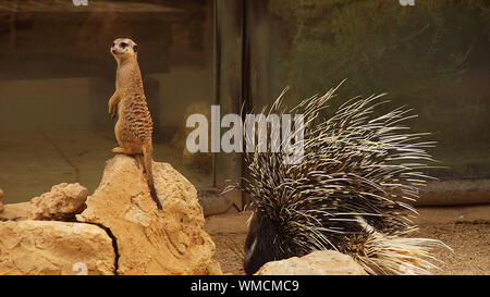Erdmännchen auf Rock von Porcupine am Zoo - Stockfoto