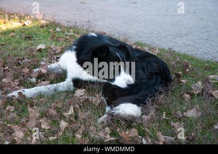 Hohe Betrachtungswinkel von Border Collie Hund liegend auf Gras - Stockfoto
