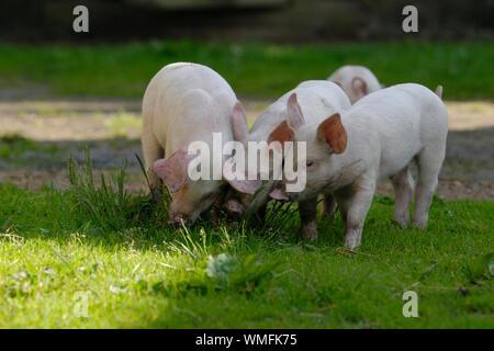 Hausschwein, Ferkel schnüffeln an Gras Büschel - Stockfoto