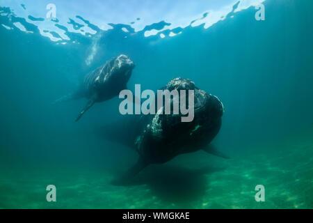 Southern Right Whale, Eubalaena australis, und ihr Kalb in den flachen geschützten Gewässern des Nuevo Golf, die Halbinsel Valdes, Argentinien. - Stockfoto