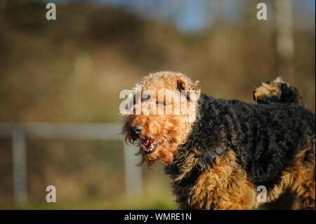 In der Nähe von Welsh Terrier - Stockfoto