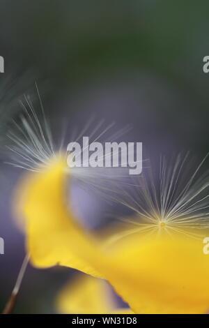 Extreme Nahaufnahme von Löwenzahn Blume - Stockfoto