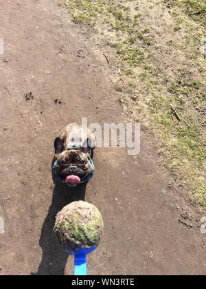 Hohe Betrachtungswinkel und der schmutzigen Ball in Löffel gegen Französische Bulldogge auf Feld - Stockfoto