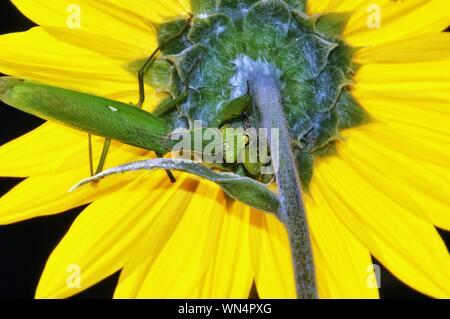 Nahaufnahme einer Heuschrecke auf gelbe Blume - Stockfoto