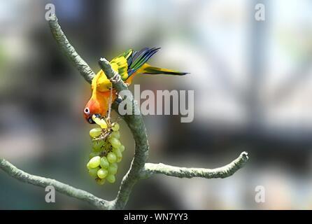 Bunte Papagei Sun Sittiche Essen Trauben - Stockfoto