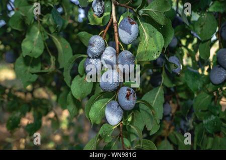 Schöne frische junge Pflaumen wachsen auf einem Baum Hintergrund. - Stockfoto