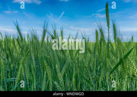 Reifung Ohren der goldene Weizen in einem Bauernhof Feld unter einem klaren sonnigen blauen Himmel im Sommer in der Nähe zu niedrigen Winkel anzeigen Stockfoto