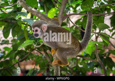 In der Nähe einer gemeinsamen Totenkopfäffchen (Saimiri sciureus) auf einem Zweig eines Baumes in Malaysia, Totenkopfäffchen Gremien sind nur 9 - 14 Zoll lang. - Stockfoto