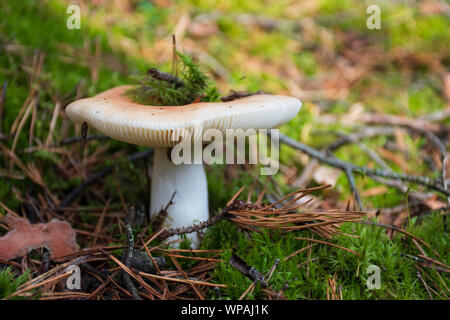 Essbare Bedruckungstinte weiß neu geborene Pilz mit Kappe in Moss Herbst Wald Hintergrund. Pilz in der natürlichen Umwelt. Big Pilz Makro Nahaufnahme - Stockfoto