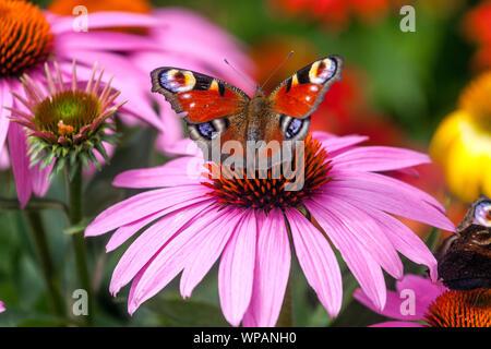 Schmetterling auf Blume Fütterung Nektar, Sonnenhut, Tagpfauenauge auf Echinacea Blume - Stockfoto