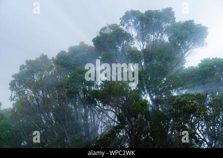 Sun Streifen durch einen Nebel umgeben Baum auf der Insel Kauai, Hawaii, USA - Stockfoto