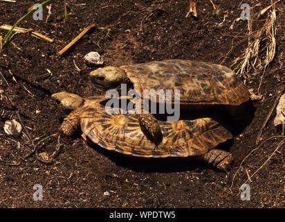 Die Pfannkuchen Schildkröte ist endemisch auf Granit Aufschlüsse aus Ostafrika. Eine kleine Schildkröte mit eine einzigartige flexible Shell und es ist Experte Kletterer des Rock - Stockfoto
