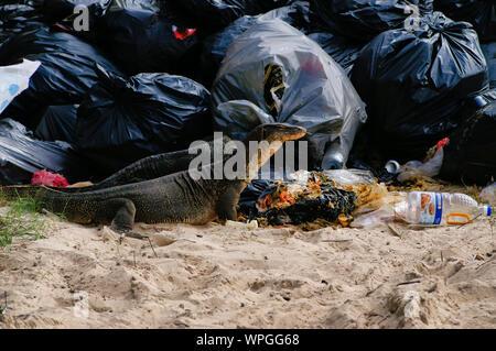 Riesige 2 Meter Reptilien Varans Essen Müll/Essen vom Restaurant verworfen. - Stockfoto