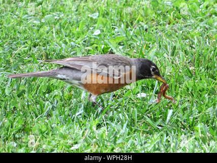 In der Nähe von Robin mit Wurm im Mund auf Gras - Stockfoto