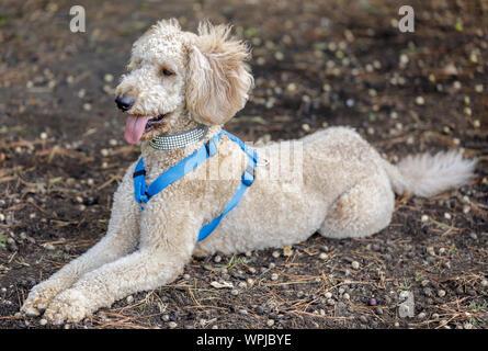 Labradoodle (Labrador Retriever und Pudel kreuz Rasse) liegen. Off-Leine Hund Park in Nordkalifornien. - Stockfoto