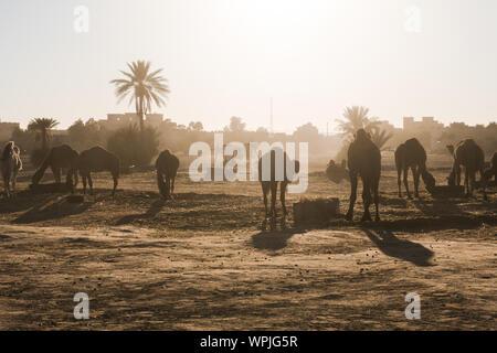 Silhouetten der Kamele in stabilen Stand gegen die Sonne auf Dünen Erg Chebbi in Marokko - Stockfoto