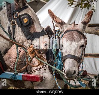 Close-up Der Esel im Freien - Stockfoto