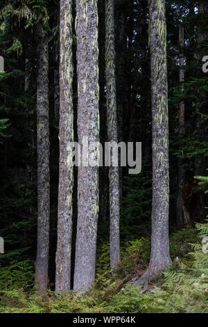 Tannen, Abies sp., entlang der Snow Lake Trail in die alpinen Seen Wüste, Mt. Baker Snoqualmie National Forest, Washington State, USA