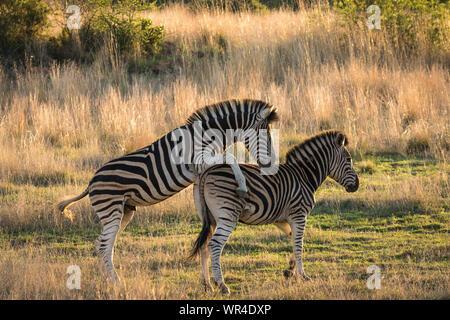 Reife männliche Zebra versuchen, Frauen zu züchten. - Stockfoto