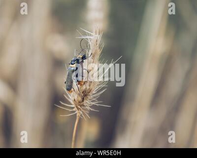 Paarung der Käfer auf Reed - Stockfoto